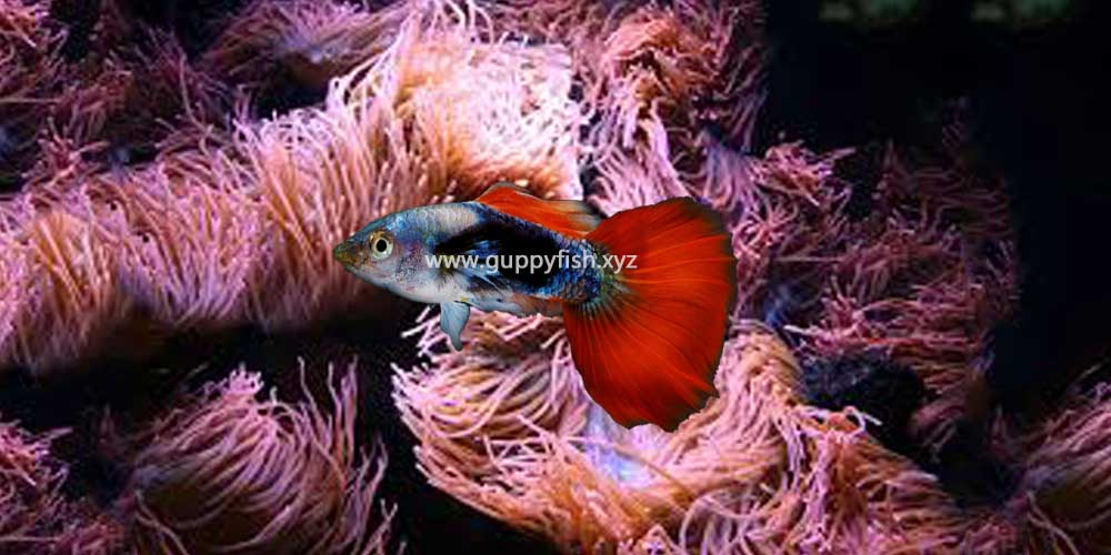 fire-tail-guppy-fish