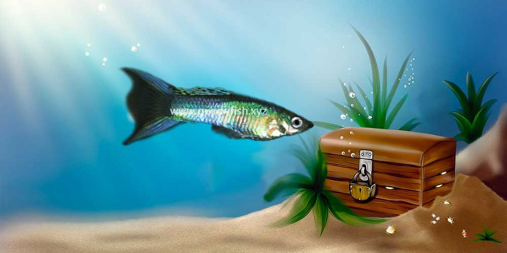lyre-tail-guppy-fish